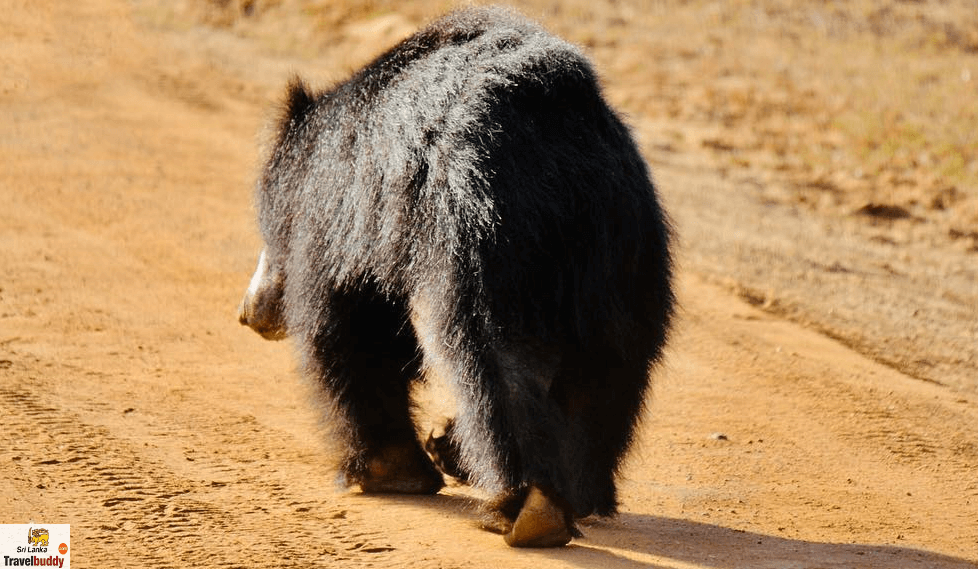 Yala National Park Safari bear